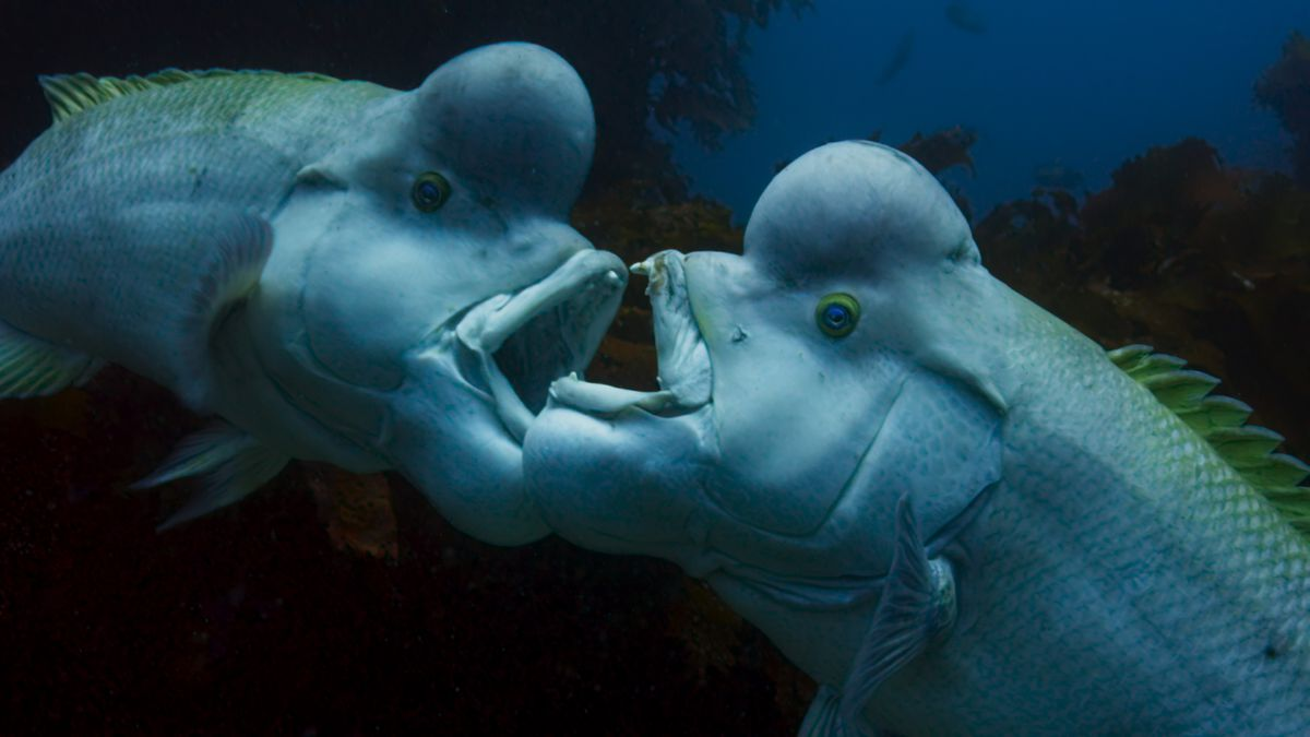 Två fiskar i Blue Planet II som inte förstår vikten av social distansering